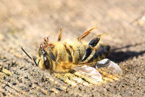 sadly a dead bee on its back on sack material