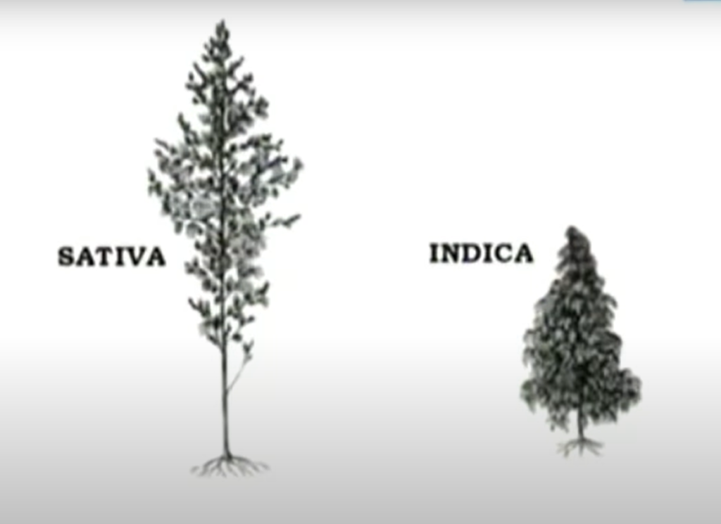 images drawn of Sativa and indica